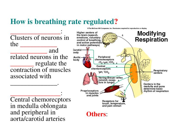 How is breathing rate regulated