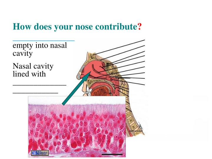 How does your nose contribute