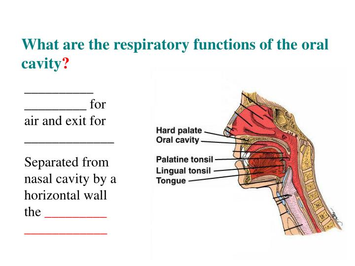 What are the respiratory functions of the oral cavity