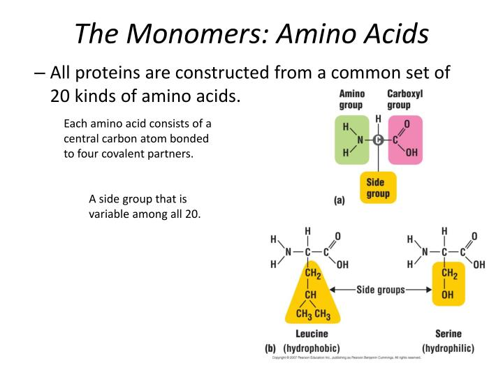 The Monomers: Amino Acids