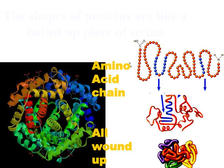 The shapes of proteins are like a balled up piece of string