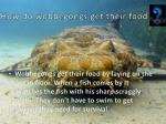 how do wobbegongs get their food