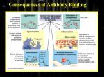 consequences of antibody binding