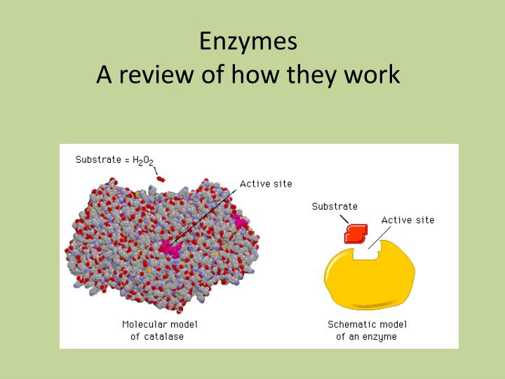 enzymes a review of how they work n.