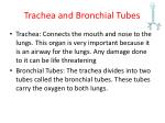 trachea and bronchial tubes