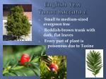 english yew taxus baccata l