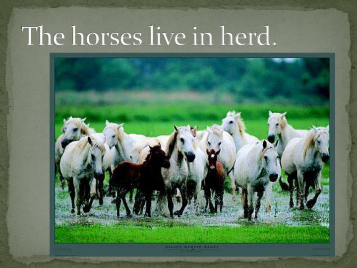 The horses live in herd.