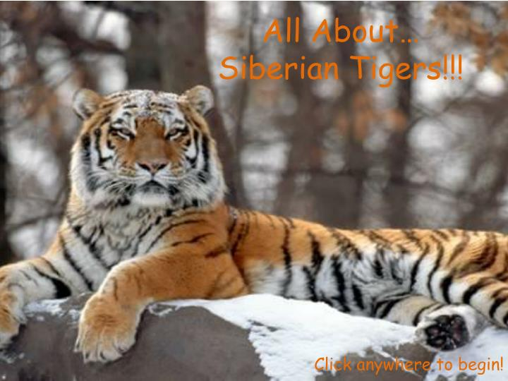 all about siberian tigers n.
