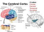 the cerebral corte x