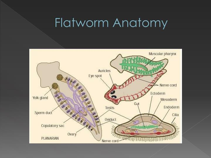 Ppt Flatworms Roundworms Powerpoint Presentation Id2114233
