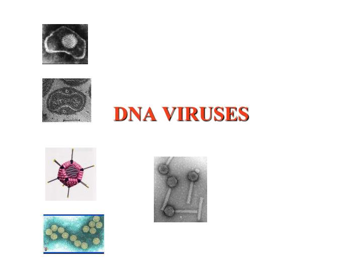 dna viruses n.