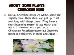 about some plants cherokee rose