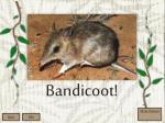 bandicoot1