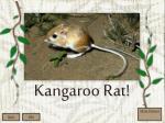 kangaroo rat1