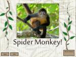 spider monkey1