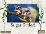 sugar glider1