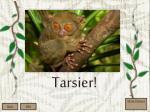 tarsier1