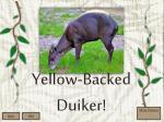 yellow backed duiker1