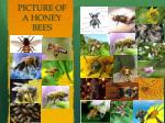 picture of a honey bees