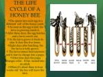 the life cycle of a honey bee