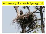 an imagery of an eagle young bird1