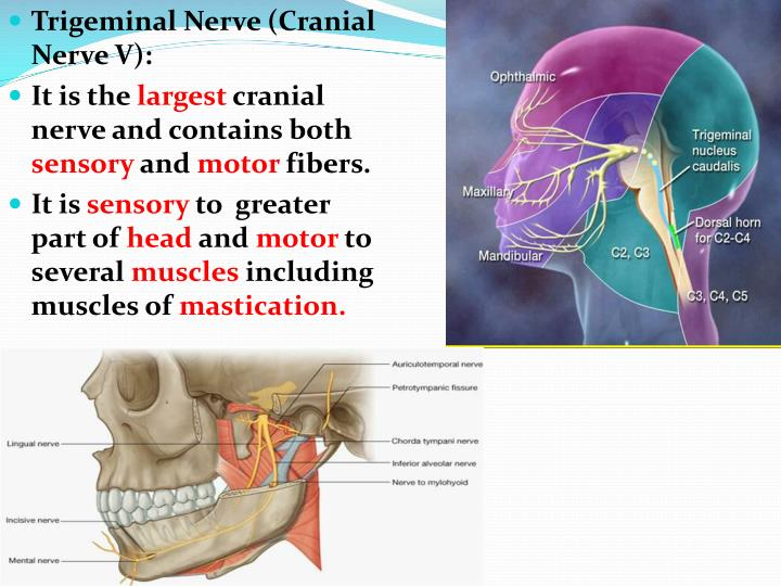 Ppt The Trigeminal Nerve Powerpoint Presentation Id2115338