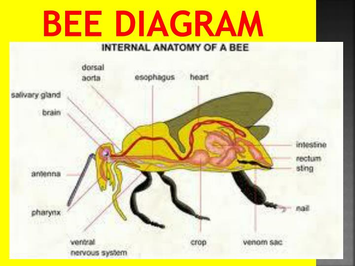 Ppt Bees Powerpoint Presentation Id2115465