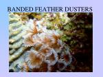 banded feather dusters