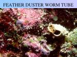 feather duster worm tube