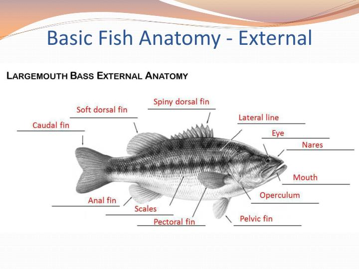 PPT - What makes us fishes? PowerPoint Presentation - ID:2116836