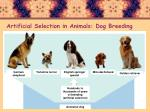artificial selection in animals dog breeding