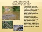 garter snake thamnophis spp