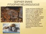 gopher snake pituophis melanoleucus