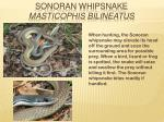 sonoran whipsnake masticophis bilineatus