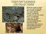 tiger rattlesnake crotalus tigris