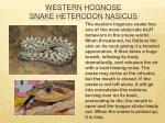 western hognose snake heterodon nasicus