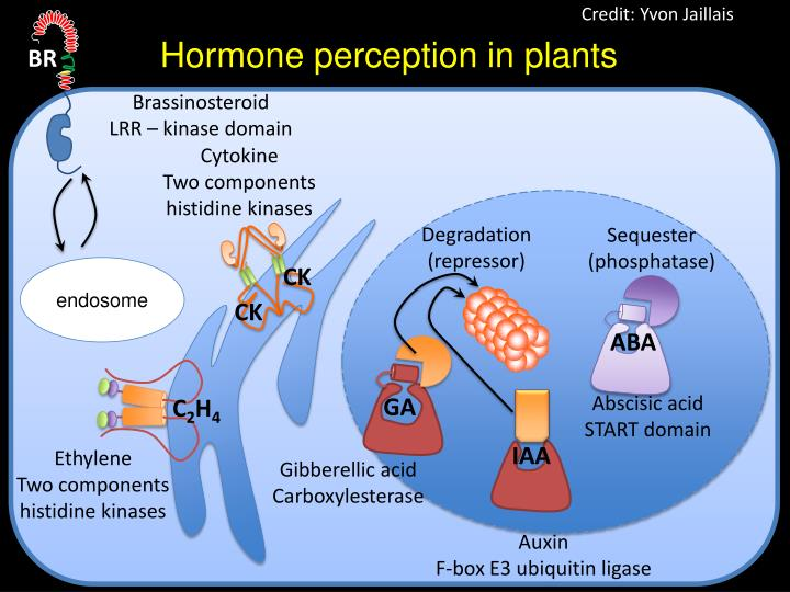 hormone perception in plants n.