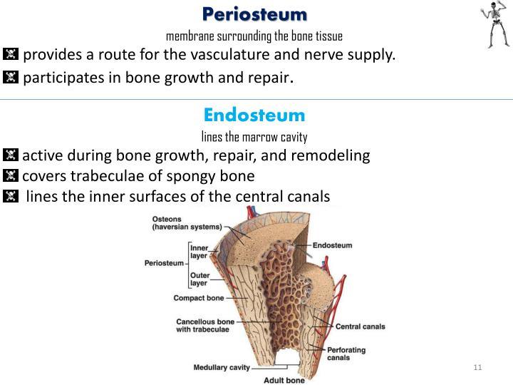 Periosteum