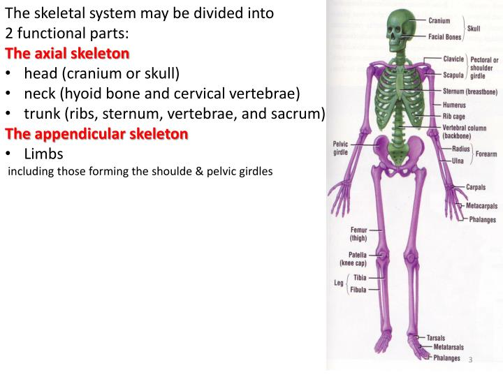 The skeletal system may be divided into