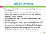 maltese grooming