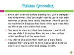 maltese grooming1