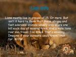 lion info