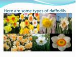 here are some types of daffodils