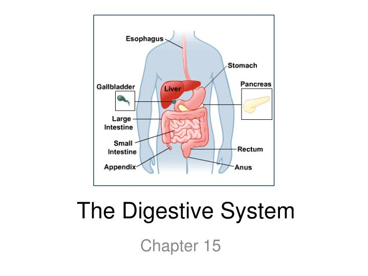 essays about the digestive system The human digestive system essay 772 words | 4 pages order to function have to be extracted from food and absorbed into the body the process responsible for this is known as digestion.