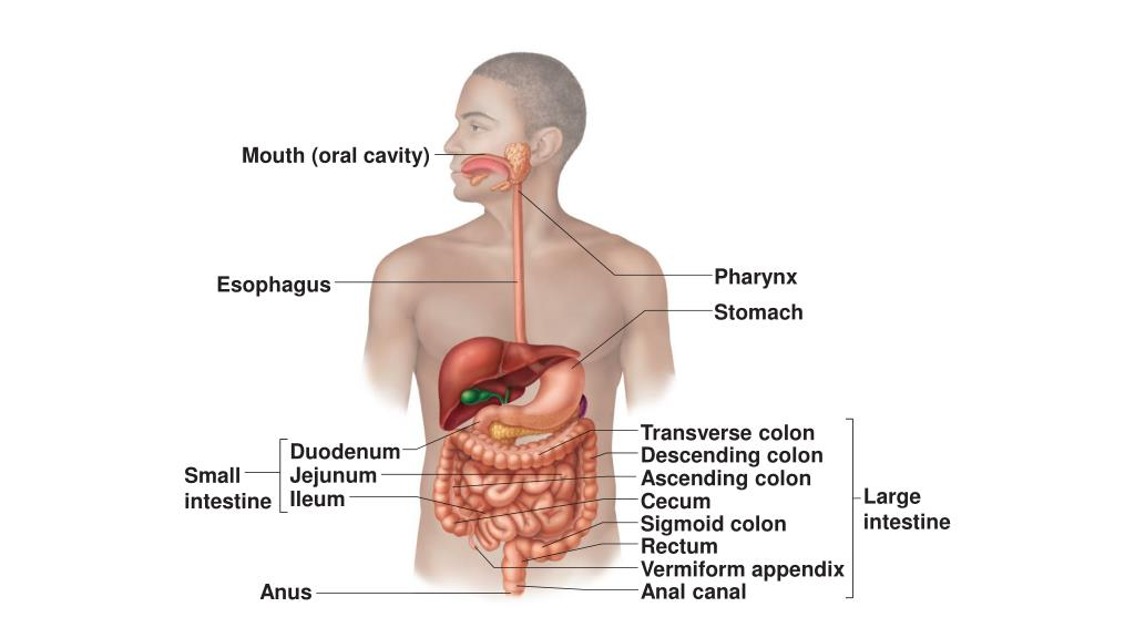 Ppt Mouth Oral Cavity Powerpoint Presentation Id2120435