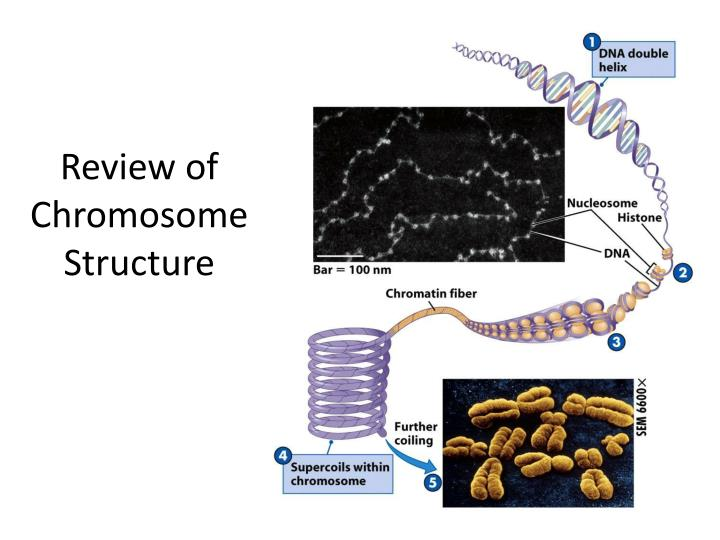 review of chromosome structure n.