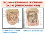 cecum ascending descending colons anterior relations