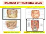 ralations of transverse colon