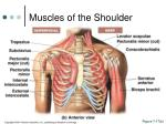 muscles of the shoulder1