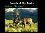 animals of the tundra4
